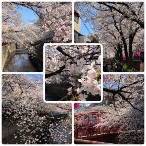 目黒川の花見❤︎