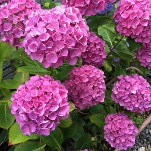 庭の紫陽花と沙羅双樹が咲きました♪