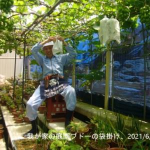 庭園ブドーの袋掛け
