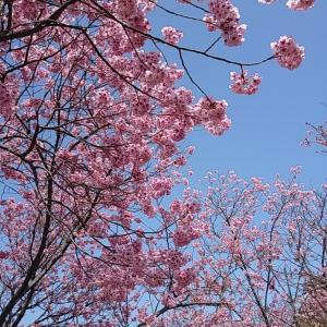 しまなみ海道 絶品ハンバーガーと満開の陽光桜