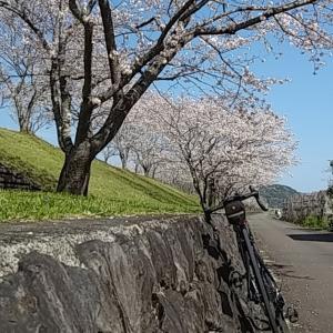 満開の桜とお弁当の59キロ♪