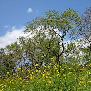 お花見ポタ ヤナギ林と菜の花69キロ