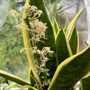 3番目のサンスベリアの花