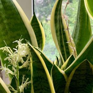 サンスベリアの花