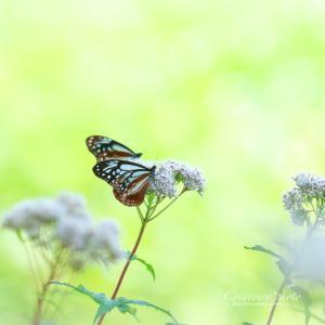 ** 旅する蝶 **