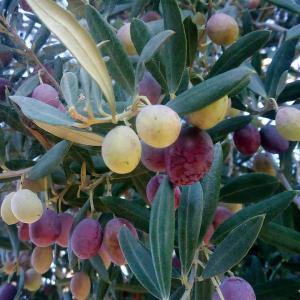 南仏イエールはオリーブの季節。