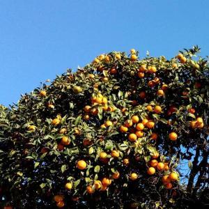 Les orangers d'Hyères オレンジの街路樹@イエール