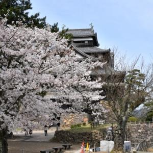 桜が満開の松江城に行った