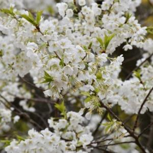 幻の桜「ミドリヨシノ」に出会えた萩城址