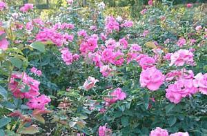 痛み ≪秋薔薇と十月桜≫