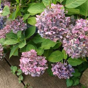 紫陽花が大好きで♪