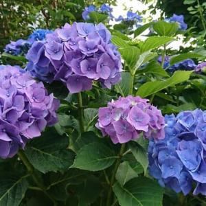 紫陽花のような6月