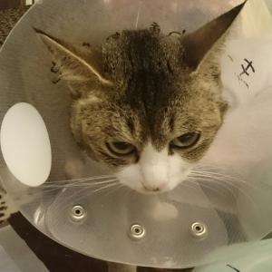 応援ありがとうございました! 保護猫リュリュちゃんの手術、無事に終わりました。
