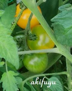 黄色いトマトもできています(*^_^*)