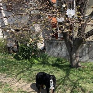 桜散歩とモデル犬