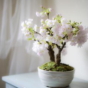 おうちでお花見 桜の盆栽が満開です!