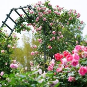 太陽ローズガーデンの美しいバラ達