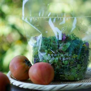 柳沢ファームのトマトとマイクロリーフはスーパーデリシアで