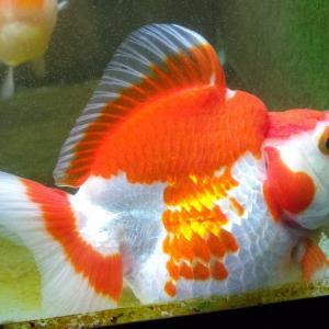 座り込む金魚たち❗️