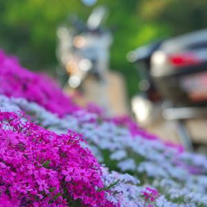 相変わらずの県境プチツーで偶然の芝桜富士