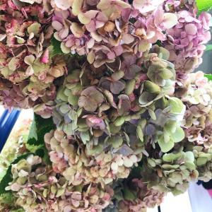 紫陽花のドライフラワー作り