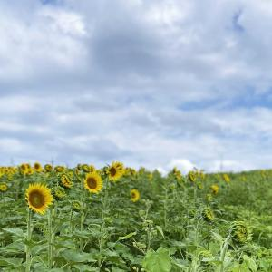 夏の雲と向日葵~愛知牧場~