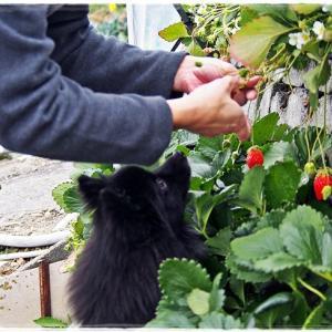 【振返り】静岡でイチゴ狩り2016
