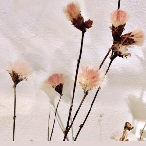 ピンク色のふわふわな種の雑草❤︎