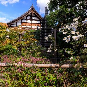 秋明菊とホトトギス(天寧寺)