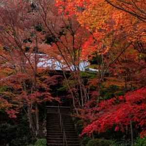 紅葉が彩る京都2019 盛秋の勝持寺