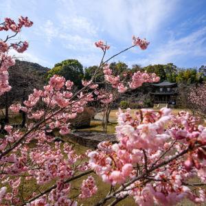 Prologue 2020桜咲く京都 寒桜咲く勧修寺