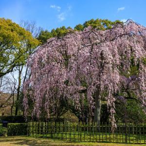 2020桜咲く京都 出水のしだれ桜