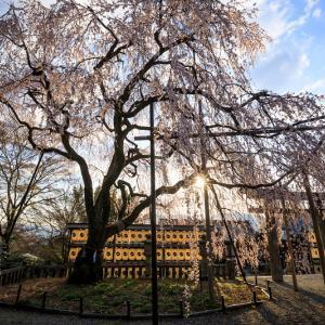 2020桜咲く京都 朝の光に輝く大石桜(大石神社)