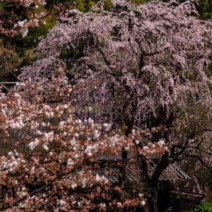 2020桜咲く奈良 賀名生皇居跡のしだれ桜