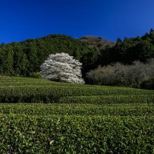 2020桜咲く三重 美杉竹原の薄墨桜