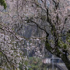 2020桜咲く奈良 雨に烟る八講桜