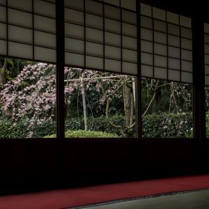 2020桜咲く京都 さくらと春の花咲く雲龍院