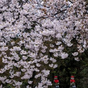 2020桜咲く京都 粟生光明寺・桜散歩