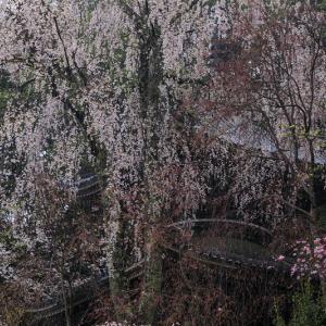2020桜咲く奈良 如意輪寺・雨桜