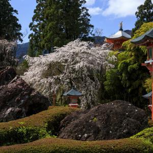 2020桜咲く京都 西山 正法寺の枝垂れ桜