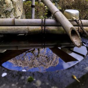 2020桜咲く京都 十輪寺の業平桜
