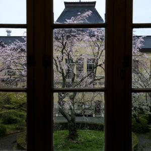 2020桜咲く京都 京都府庁旧本館の桜たち