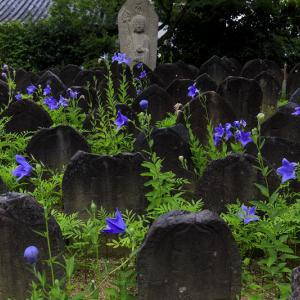 桔梗と初夏の花咲く元興寺
