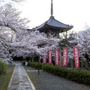 2020桜咲く京都 本法寺の桜