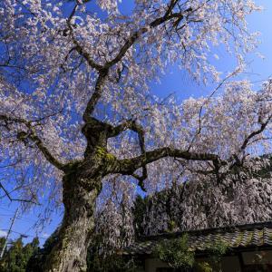 2020桜咲く京都 大智寺のしだれ桜