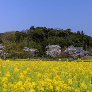 2020桜咲く京都 観音寺の桜と菜の花