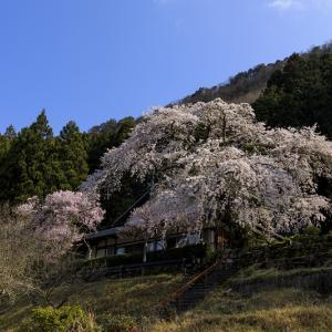 2020桜咲く奈良 悟眞寺のしだれ桜