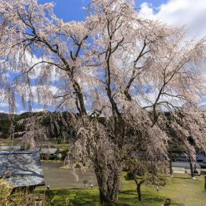 2020桜咲く京都 京北・八幡宮社のしだれ桜