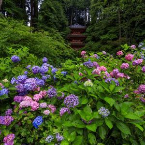岩船寺の紫陽花たち