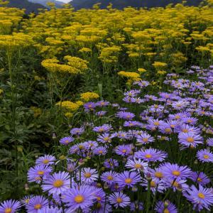越畑の女郎花と夏の花々